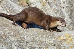 Funzionamento della lontra di fiume su una roccia immagini stock