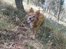 Funzionamento della natura dell'erba di cane Fotografia Stock Libera da Diritti
