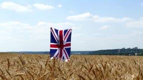 Funzionamento della ragazza di bellezza sul giacimento di grano giallo con la bandiera nazionale della Gran Bretagna stock footage