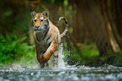 Funzionamento della tigre dell'Amur in acqua Animale del pericolo, tajga, Russia Animale nella corrente della foresta Grey Stone, fotografie stock libere da diritti