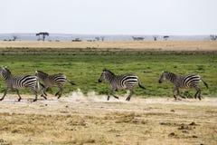 Funzionamento della zebra Immagini Stock Libere da Diritti