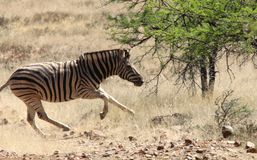 Funzionamento della zebra sulla savana nel Sudafrica fotografia stock libera da diritti