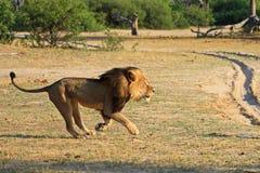 Funzionamento di Cecil attraverso le pianure nel parco nazionale di Hwange Immagini Stock