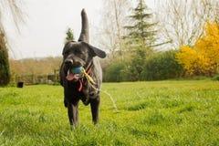 Funzionamento di Labrador Fotografie Stock Libere da Diritti