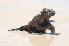 Funzionamento di Marine Iguana sulle isole di Galápagos della spiaggia immagini stock