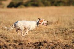 Funzionamento di razza del cane dell'indicatore Fotografia Stock