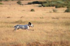 Funzionamento di razza del cane dell'indicatore Fotografie Stock Libere da Diritti