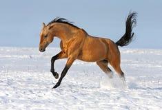 Funzionamento dorato dello stallion del akhalteke immagini stock libere da diritti