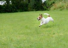 Funzionamento energetico del cane e saltare sull'erba verde al prato inglese del cortile posteriore Immagine Stock Libera da Diritti