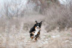 Funzionamento felice del bovaro bernese sulla foresta delle molle fotografia stock libera da diritti