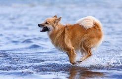 Funzionamento felice del cane Fotografia Stock