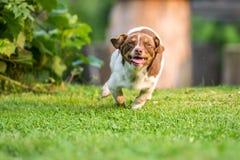 Funzionamento felice del cane Fotografie Stock Libere da Diritti