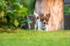 Funzionamento felice del cane Fotografia Stock Libera da Diritti