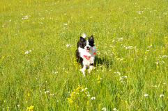 Funzionamento felice del cane sul pascolo Fotografie Stock Libere da Diritti