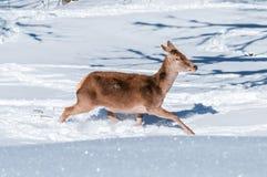 Funzionamento femminile dei cervi nobili nella neve profonda Fotografie Stock Libere da Diritti