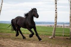 Funzionamento frisone del cavallo Fotografie Stock