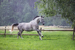 Funzionamento grigio del cavallo in pioggia di estate immagine stock libera da diritti