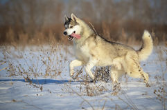 Funzionamento grigio e bianco del cane del husky siberiano nel prato della neve Fotografie Stock Libere da Diritti