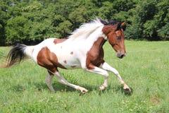 Funzionamento macchiato del cavallo Fotografie Stock