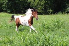 Funzionamento macchiato del cavallo Immagini Stock
