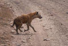 Funzionamento macchiato dell'iena attraverso la strada nel cratere di Ngorongoro fotografia stock libera da diritti
