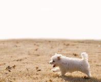 Funzionamento maltese del cucciolo Fotografie Stock