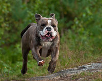 Funzionamento messo a fuoco del cane fotografia stock libera da diritti
