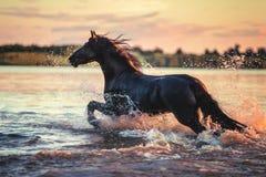 Funzionamento nero del cavallo in acqua al tramonto Immagini Stock