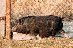 Funzionamento nero del maiale della famiglia in di cortile La suinicoltura sta alzandosi Immagine Stock