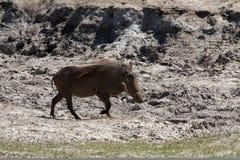 Funzionamento orizzontale del warthog Fotografia Stock