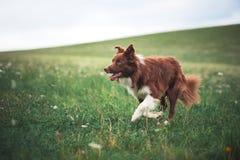 Funzionamento rosso del cane di border collie in un prato Fotografie Stock