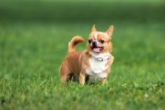 Funzionamento rosso felice del cane della chihuahua sull'erba Immagini Stock
