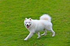 Funzionamento samoiedo del cane Fotografie Stock Libere da Diritti