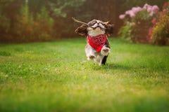Funzionamento sprezzante del cane dello spaniel di re charles con il bastone nel giardino di estate fotografia stock libera da diritti