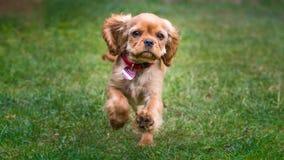 Funzionamento sprezzante felice del cucciolo dello spaniel di re charles fotografia stock libera da diritti