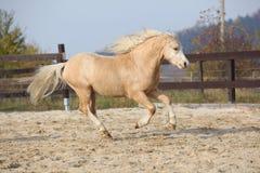 Funzionamento stupefacente del cavallino della montagna di lingua gallese del palomino Immagine Stock Libera da Diritti