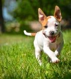 Funzionamento sveglio del cucciolo di Stafford sul campo fotografia stock