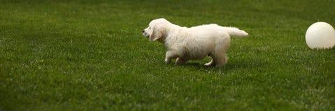 Funzionamento sveglio del cucciolo sull'erba Immagini Stock