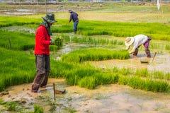 Funzionamento tailandese dell'agricoltore del riso Immagini Stock Libere da Diritti