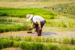 Funzionamento tailandese dell'agricoltore del riso Fotografia Stock
