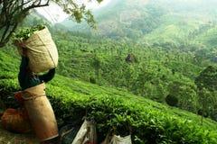 Funzionando alla piantagione di tè Immagini Stock Libere da Diritti