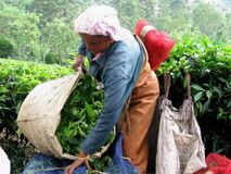 Funzionando alla piantagione di tè Immagine Stock