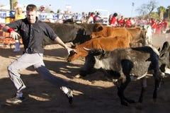 Funzionando dei tori in America in Arizona Immagine Stock