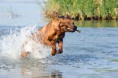 Funzionando nel cane di acqua Fotografie Stock Libere da Diritti