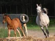 Funzionare arabo dei cavalli immagini stock libere da diritti