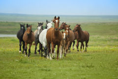 funzionare dei cavalli Fotografie Stock