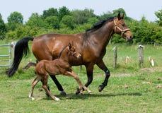 funzionare dei cavalli Immagini Stock Libere da Diritti
