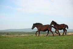 Funzionare dei due cavalli Immagine Stock