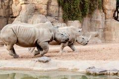 Funzionare dei due rhinos Immagine Stock