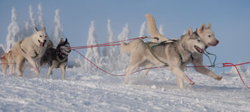 Funzionare dogsled dei husky siberiani Fotografia Stock